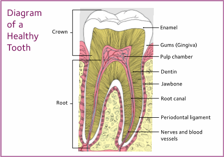 diagram of a healthy tooth